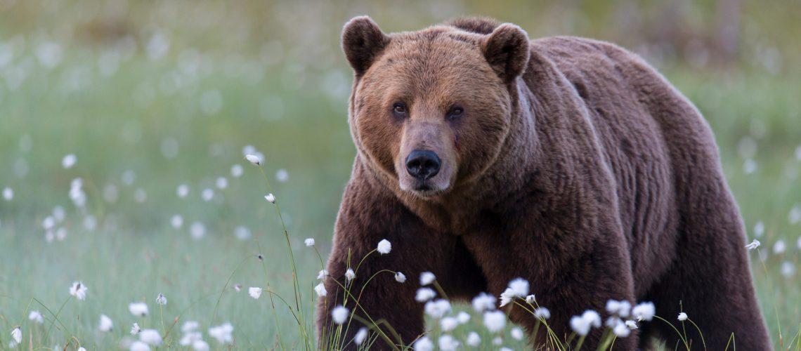 Bären sind auch Raubtiere - das darf nie vergessen werden. (Foto: Rolfes/DJV)
