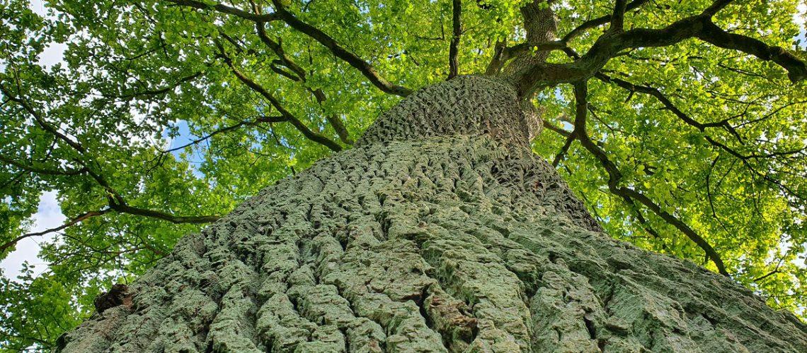 Die Eiche gilt als heiliger Baum. (Foto: Inga Sprünken)