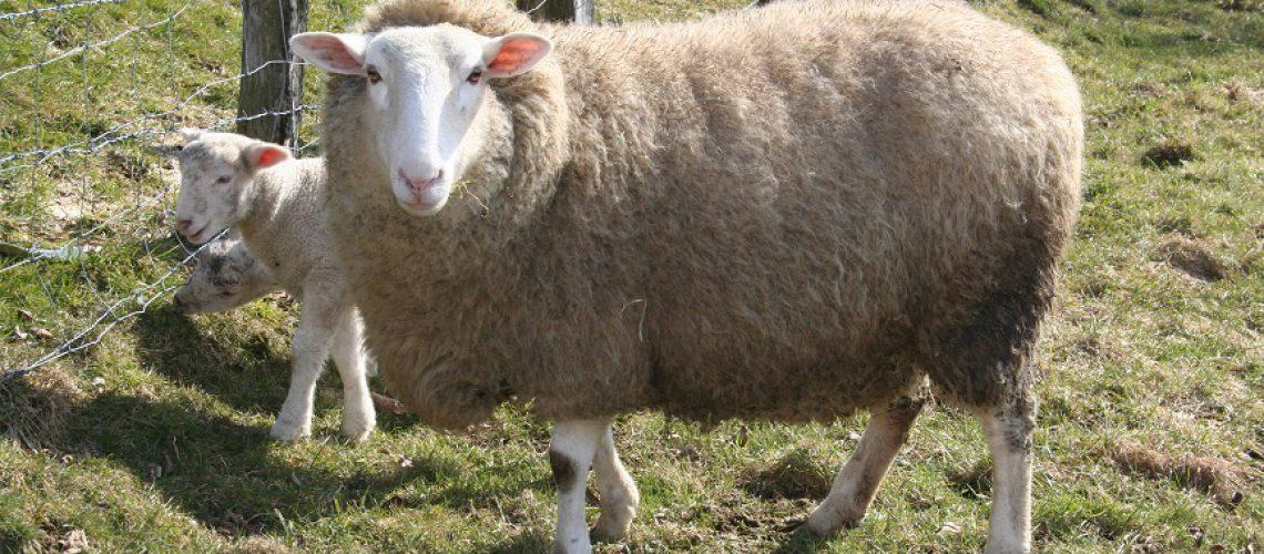 Dolly ist der Name des ersten geklonten Säugetiers. (Foto: Inga Sprünken)