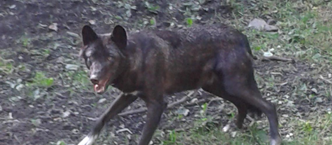 Ein kanadischer Timberwolf im Gehege in Kasselburg. (Foto: Inga Sprünken)
