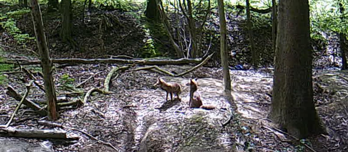 Zwei Füchse im Bereich des Dachsbaus. (Foto: Inga Sprünken)